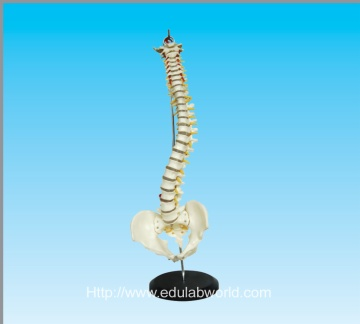 Human vertebral column and pelvis